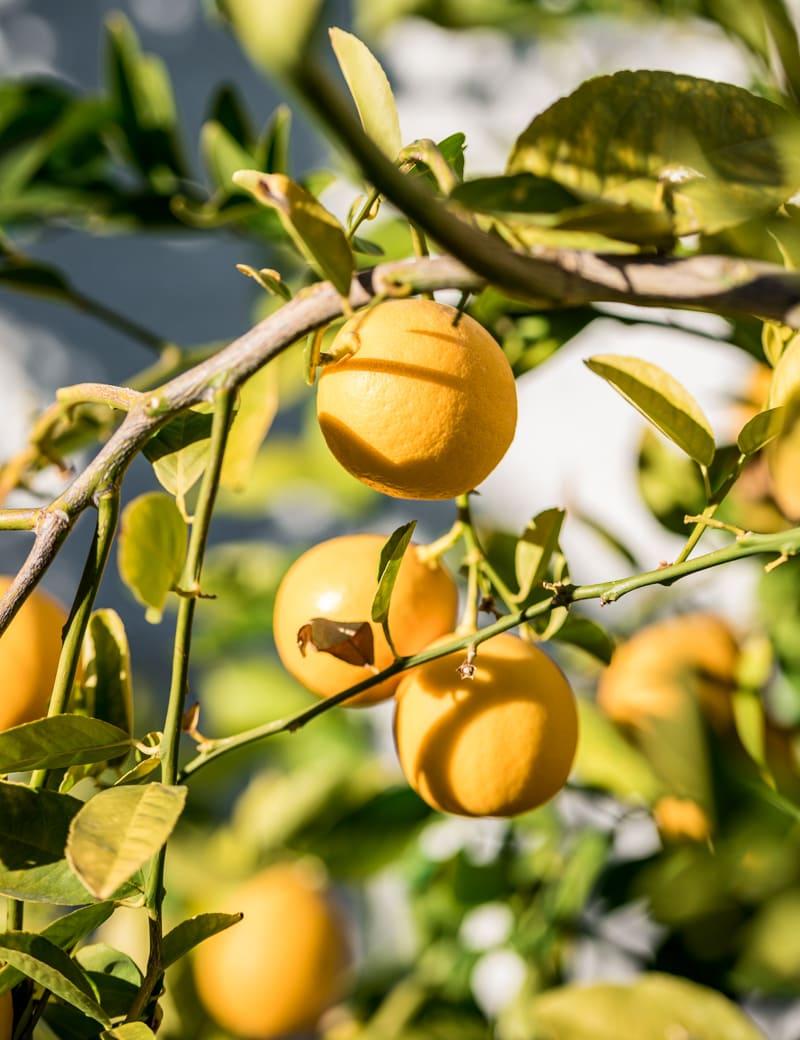 Meyer Lemon Tree growing in Las Vegas, Nevada www.pineappleandcoconut.com